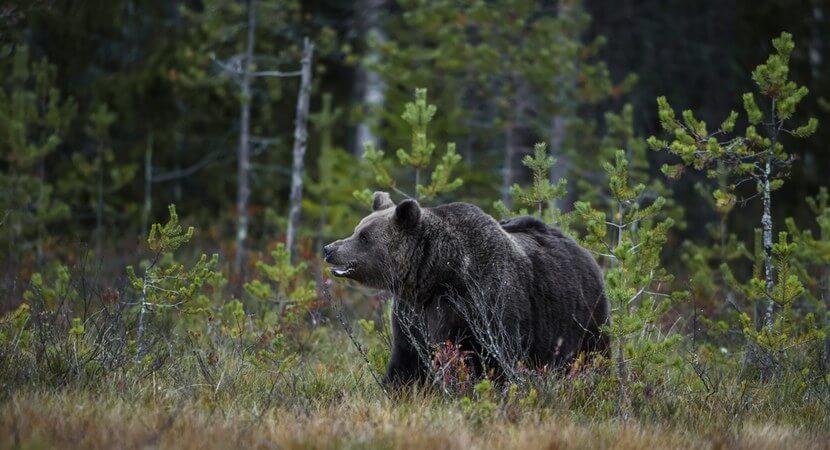 Niedźwiedzie pojawiły się w lubelskich lasach